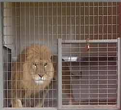lion et accident dans un cirque