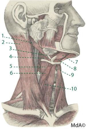 Muscle du cou